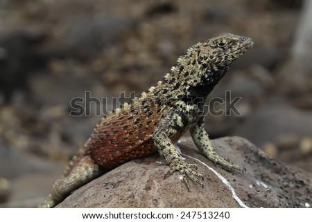Lava lizard - stock photo