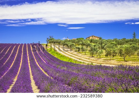 lavande in Provence, France - stock photo