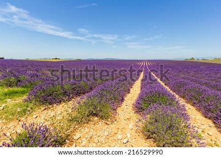 Lavander fields in Valensole - Provence - France - stock photo