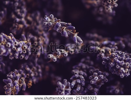 Lavander flowers closeup