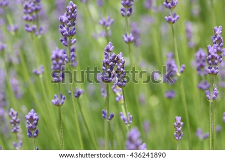 Lavandula angustifolia (lavender most commonly True Lavender or English lavender, though not native to England; also garden lavender, common lavender, narrow-leaved lavender) - stock photo