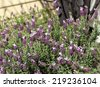 Lavandula stoechas (French lavender, Spanish lavender, or topped lavender)  a species of flowering plant family Lamiaceae, with dainty fragrant pink fluted flowers in early spring is a delight . - stock photo