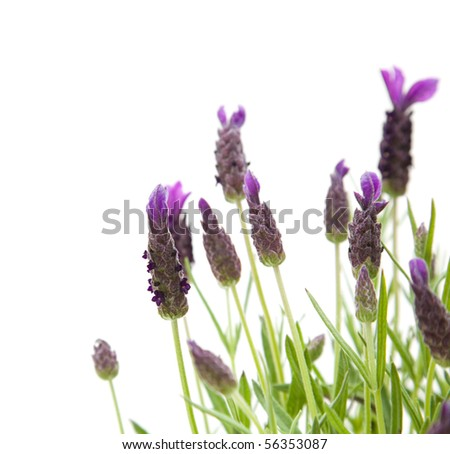 Lavandula Stoechas (French lavender; Spanish Lavender; Topped Lavender); isolated on white; - stock photo