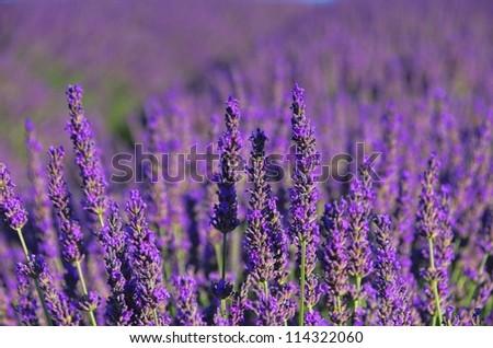 lavender 72 - stock photo