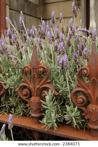 lavender and rust - stock photo