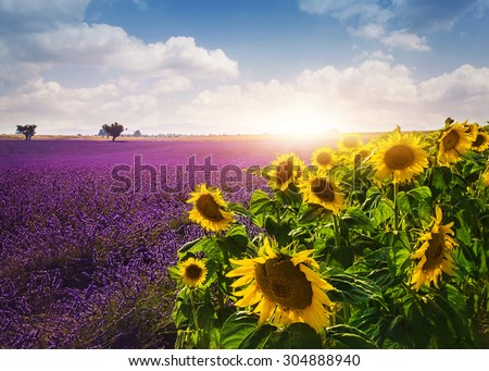 Lavender and sunflowers fields , Provence - stock photo