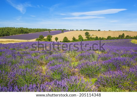 Lavender and wheat field with tree in Provence, France - stock photo