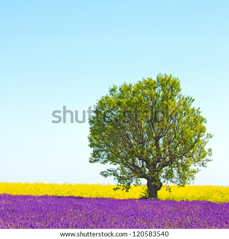 Lavender and yellow flowers blooming field and a lonely tree. Valensole, Provence, France, Europe. - stock photo