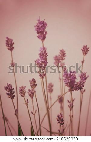 Lavender blossom vintage style blurred darkened background - stock photo