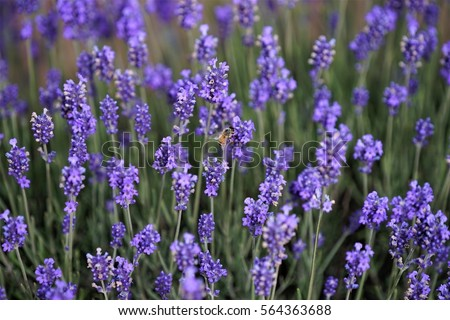 Lavender blossoms with a bee