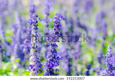 Lavender Bunch in the Nature.