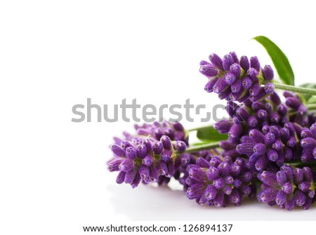 lavender bunch on a white background