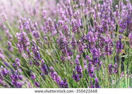 Lavender bushes closeup on sunset. - stock photo