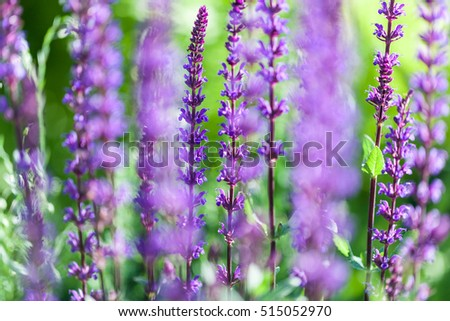 Lavender bushes closeup on sunset. Sunset gleam over purple flowers of lavender.