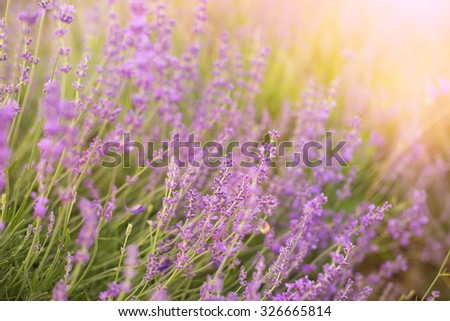 Lavender bushes closeup on sunset. Sunset gleam over purple flowers of lavender. Bushes on the center of picture and sun light on the left. Provence region of france. - stock photo