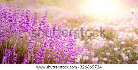 Lavender bushes closeup on sunset. Sunset gleam over purple flowers of lavender. Provence region of france. - stock photo
