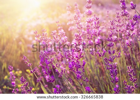 Lavender bushes closeup on sunset. Sunset gleam over purple flowers of lavender. Sun light on the left side and bushes on the right. Provence region of france. - stock photo