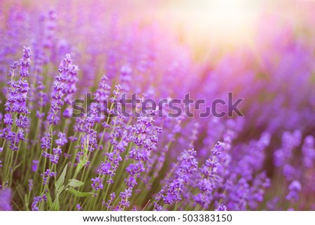 Lavender bushes closeup on sunset. Sunset light over purple flowers of lavender. Sunlight on the left side and bushes on the right. Provence region of France.