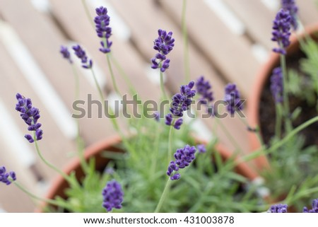 Lavender bushes closeup on table. Brown desk of table through flowers of lavender. Provence region of france. - stock photo