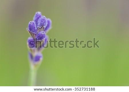 Lavender close up - stock photo