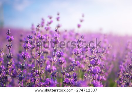 Lavender closeup. Composition of nature.