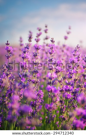 Lavender closeup. Composition of nature,