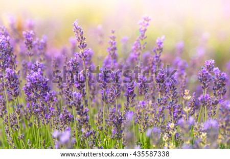 Lavender closeup on sunlight. Purple flowers of lavender. Provence - region of France and aromatic herbal plantation. - stock photo