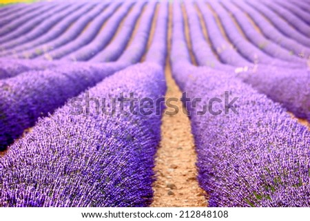 lavender farm at Provence, France - stock photo