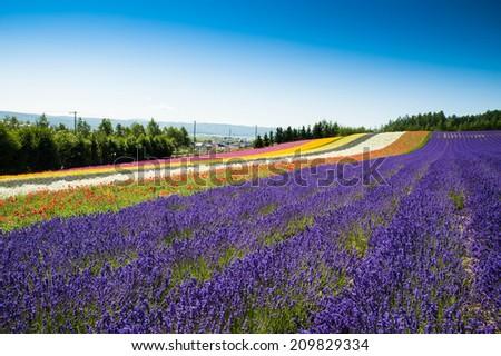 Lavender Farm in Furano - stock photo