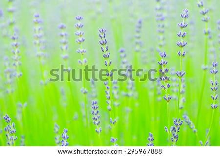 lavender farm in Furano, Hokkaido - stock photo