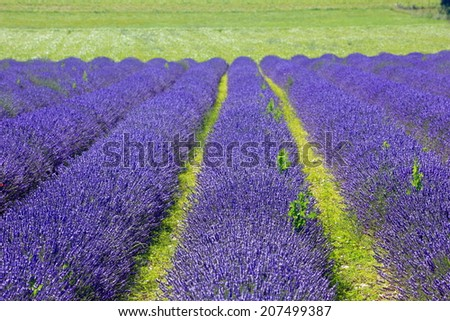 lavender farm on green meadow