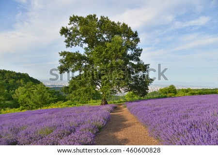 Lavender farm with solo tree and trail at Sapporo City, Japan