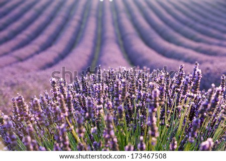 Lavender field during sunrise - stock photo