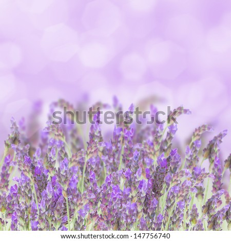 Lavender field  flowers isolated on white background