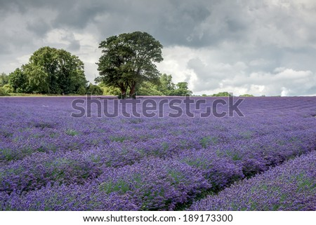 Lavender field in Banstead Surrey - stock photo
