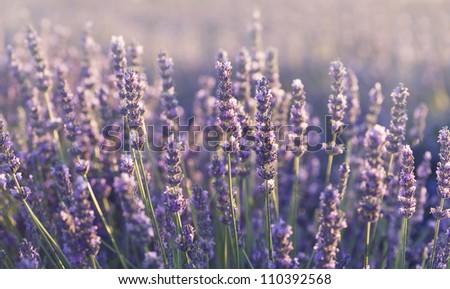 Lavender field in Provence - stock photo