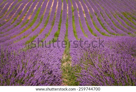 Lavender field in Provence, France. Countryside view - stock photo