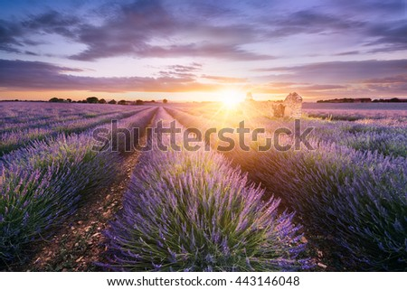Lavender field in Provence, near Sault, France  - stock photo