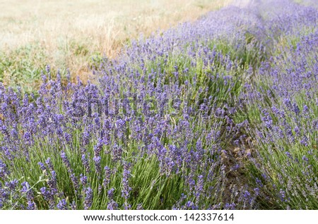 Lavender field in Provence. Violet lavender blossoms in summer day.