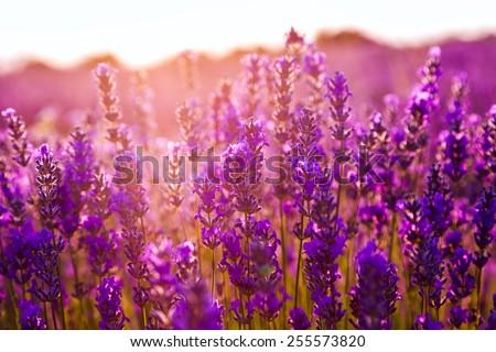 Lavender field in Summer near Tihany, Hungary - stock photo