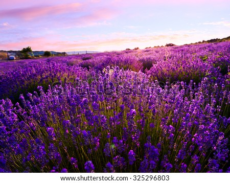 Lavender field in summer near Tihany, Hungary