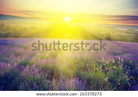 Lavender field in the early morning sun on a background with rays of the rising sun. Vintage composition