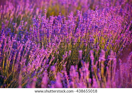 Lavender Field in the summer - stock photo