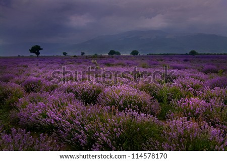 lavender field in the summer evening - stock photo