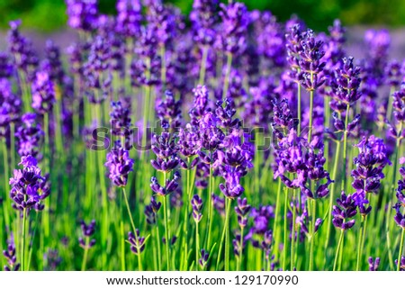 Lavender field in the summer in Tihany,Hungary - stock photo