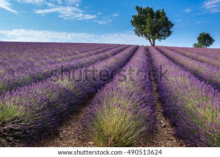 Lavender field in Valensole plateau, Provence (France)