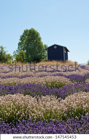 Lavender field landscape with house, lavender storage