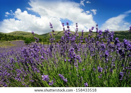 Lavender field. Provence, France - stock photo