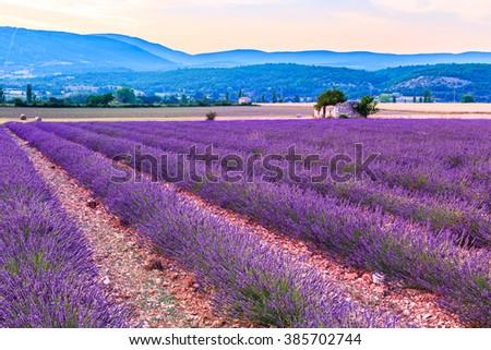 Lavender field summer sunset landscape near Sault, Provence - France - stock photo