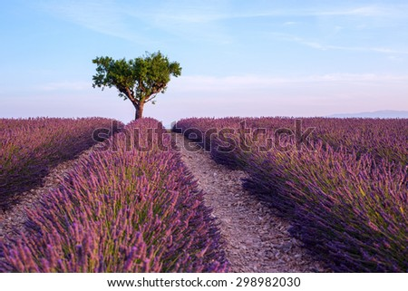 Lavender field summer sunset landscape with single tree near Valensole.Provence,France - stock photo